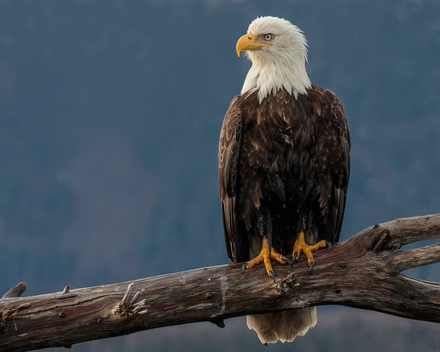 We added credits to this image of an eagle